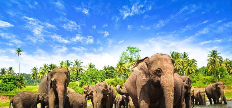 Cosa vedere in Sri Lanka: elefanti