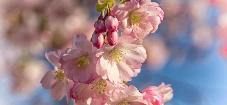 fioritura ciliegi giappone